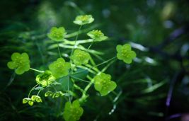 What is Bupleurum And What Are Its Benefits?